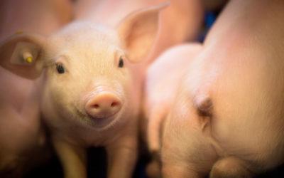 Filière porcine : vers de nouveaux modes d'élevages